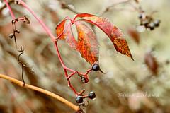 Colors of autumn (kinga.lubawa) Tags: autumn red brown colors canon krople jesie kolory czerwony droples kolorowe brzowy bokheh