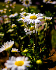 daisies-2 (Scotographer) Tags: flowers daisies nikon nikkor d3200 35mm18g