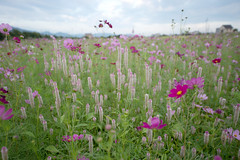 (SYU*2) Tags: pink flowers autumn light flower color green nature beautiful japan landscape photography nikon scenery pastel   cosmos d800 1424 nikoor 1424mm