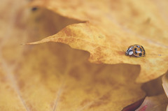 Autumn Lady **Explored** (flashfix) Tags: autumn orange macro fall nature leaves lines bug insect leaf nikon bokeh small spots ladybug layers 40mm crawling mothernature 2014 softexposure d7000 nikond7000 2minutemacro 2014inphotos september302014 smallsights