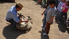 DSC01643 (Rincón del Aguila) Tags: costumbres chilenas esquila tipicas