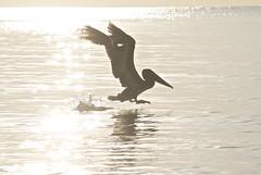 Pelican Sunrise (tumultuouswoman) Tags: ocean light sea bird beach nature silhouette sunrise photography flying wings soft florida bokeh award pelican lusignan everglades deborah glowing winning existing