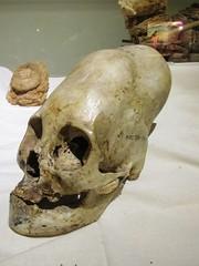 #elongated #skulls of #peru and #Boliva #elongatedskull #hybrid #hybrids #starchild #starchildren #starseed #planetx #nibiru #Atlantis (pyramidportal) Tags: peru skulls atlantis hybrid starchild boliva elongated planetx hybrids starseed elongatedskull nibiru starchildren