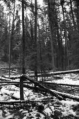 Fallen (JB by the Sea) Tags: blackandwhite bw snow canada rockies alberta banff rockymountains banffnationalpark canadianrockies johnstoncanyon johnstontrail september2014