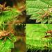Tree Damsel Bug (Himacerus apterus)