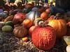 Day 277: Pumpkin Village (pianoforte) Tags: autumn fall dallas pumpkins arboretum dallasarboretum day277 dallastx project365 365project pumpkinvillage 277365 day277365