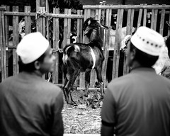 25 (Garry Andrew Lotulung) Tags: street portrait bw monochrome canon children indonesia cow blackwhite child muslim islam religion goat oldman human kambing adha humaninterest sapi tangerang idul eidmubarak iduladha canon7d