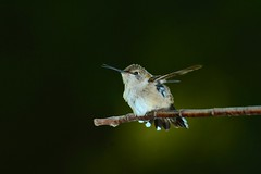 Female Rubythroated Hummingbird (chrispennell64) Tags: nature birds nikon hummingbird nashville wildlife avin nikonflickraward nikonflickeraward wildlifenashvilletn