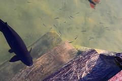 (lincoln koga) Tags: fish water 50mm nikon bonito deck peixe observe lugares lincoln ms movimento reflexo tempo tarde guas passeio momentos olhares criao f12 observando pacu koga encontros aprendizado praiadafigueira explorando chamado admirao suavidade contemplao pedaosdemim expressando movimentocongelado aguardo euvejo passividade lincolnkoga novosrumos d7000 euencontro meutempo lincolnseijikoga novoslugares novosolhares meumomento refgiosecreto silncioreflexivo tempodesilncio meusencontros voudescobrindo vouexplorando ofertadeamor teentrego nossoviver tudoemmim aguardoporvoc