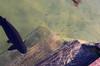(lincoln koga) Tags: fish water 50mm nikon bonito deck peixe observe lugares lincoln ms movimento reflexo tempo tarde águas passeio momentos olhares criação f12 observando pacu koga encontros aprendizado praiadafigueira explorando chamado admiração suavidade contemplação pedaçosdemim expressando movimentocongelado aguardo euvejo passividade lincolnkoga novosrumos d7000 euencontro meutempo lincolnseijikoga novoslugares novosolhares meumomento refúgiosecreto silêncioreflexivo tempodesilêncio meusencontros voudescobrindo vouexplorando ofertadeamor teentrego nossoviver tudoemmim aguardoporvocê