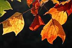 IMG_7727a - 02.10.2014 (hippo1107) Tags: autumn oktober fall canon eos october herbst blatt bltter farbig indiansummer 2014 650d canoneos650d