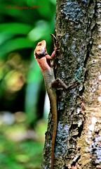 lizard2 (aburayyan) Tags: flowers plants macro nature nikon df wildlife parks lizard fullframe nikkor fx