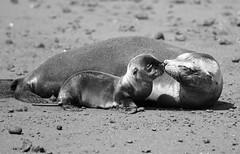 Sea Lion Love (Prairie_Wolf) Tags: baby nature animals ecuador mother travelphotography galapagosislands galapagossealion islaisabela zalophuswollebaeki rachelmackayphotography