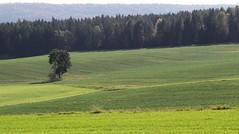 Greens (:Linda:) Tags: tree green germany landscape village thuringia aspentree espe populustremula brden zitterpappel populustree zitterpappelpopulustree