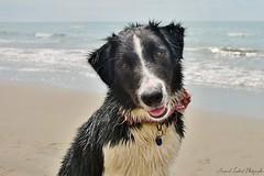 La belle oda (Arnaud lambert Photographie) Tags: chien mer france nikon bordercollie nikkor lambert animaux plage camargue arnaud domestique 18105mm d7100