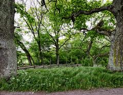 Vreta, June 7, 2015 (Ulf Bodin) Tags: road wood fence se oak sweden sverige vreta hammarskog uppland gärdesgård uppsalalän