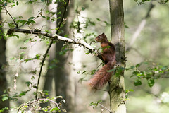 Surprise (Pap_aH) Tags: france forest foret nord redsquirrel 2015 ecureuil papah phalempin offlarde