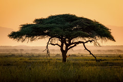 abigfave umbrellathornacaciatree vachelliatortilis sunrise amboselinationalpark kenya eastafrica africa landscape morning light morninglight africansunrise