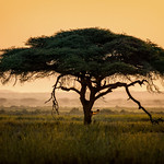 Umbrella thorn acacia tree (Vachellia tortilis) at sunrise in Amboseli National Park, Kenya, East Africa thumbnail
