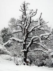 Carnet d'hiver 30 (JMVerco) Tags: hiver winter inverno neige snow neve arbre tree albero vercopictureme flickrchallengegroup