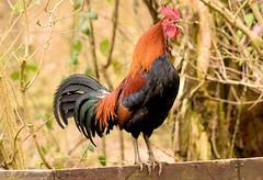 Cockerel R.S.P.B. Fowlmere (ian._harris) Tags: nikon tamron 150600mmg2 nature cockerel d7200 spring sign morning