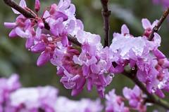 Icey Spring (jaballski) Tags: melting buds winter branches tree pink seasons waterdrop drops water ice snow macro spring flower purple 7dwf crazytuesdaytheme maketheworldmorecolorful