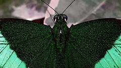 Papillons en Liberté 2017 - Photo 21 (Le Chibouki frustré) Tags: montréal montreal homa hochelagamaisonneuve macro macrophotographie botanicalgarden jardinbotanique jardinbotaniquedemontréal montrealbotanicalgarden butterfly insect insects bokeh dof pdc papillonsenliberté2017 butterfliesgofree2017 samsunggalaxys7 samsunggalaxy7 picturestakenwithacellphone