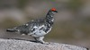 Ptarmigan (Explored) (Matt Scott Wildlife Photography) Tags: