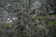 Twisted Branches, #2 (Greatest Paka Photography) Tags: branch twisted spiraling decorative bark russianridge paloalto trail twigs