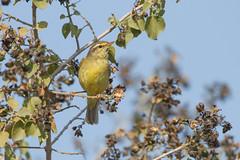 Mosquitero de Tickell (ik_kil) Tags: mosquiterodetickell tickellsleafwarbler phylloscopusaffinis keoladeonationalpark keoladeo birdsofindia birds warbler rajasthán india