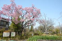 Clear Cherry (H.H. Mahal Alysheba) Tags: garden cherry cherryblossom sakura sky spring tokyo japan nikon d800 carlzeiss zeiss distagon 28mmf2 wide