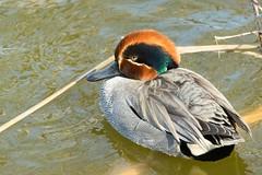 Parc Naturel dels Aiguamolls de l'Empordà (Catalogne/Espagne) (PierreG_09) Tags: parcnatureldelsaiguamollsdelempordà aiguamollsdelempordà catalogne espagne emporda catalunya cataluña spain spanien espanya españa faune oiseau sarcelledhiver anascrecca eurasianteal ansériformes anatidés parcnatureldelsaiguamolls