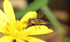 4036 Episyrphus balteatus (jon. moore) Tags: prioryfields diptera syrphidae hoverfly episyrphusbalteatus marmaladefly