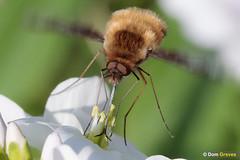 Bee-fly refuel II (Dom Greves) Tags: beefly behaviour bombyliusmajor cardaminepratensis cuckooflower darkedgedbeefly feeding insect invertebrate largebeefly march nectaring spring surrey uk wetland wildlife woodland