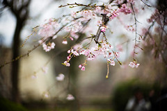 April (moaan) Tags: osaka japan jp sakura cherryblossom blossoms blossoming inblossom bokeh dof utata 2017 leica mp leicamp type240 noctilux 50mm f10 leicanoctilux50mmf10