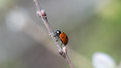 Ladybug (michel1276) Tags: insekt insect yashinondx14 makro macro marienkäfer ladybug ladybird