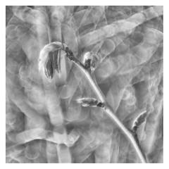 La Primavera _ 2 (leo.roos) Tags: noiretblanc buds knoppen takken branches spring lente a7 zeissikonvariotalonmc7012035 reversed talon projectorlens projectionlens darosa leoroos