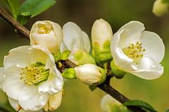 Zierquitte, Chaenomeles (günter mengedoth) Tags: zierquitte chaenomeles garten frühling zierstrauch nature flower bright samyang 100mm f28 ed umc macro