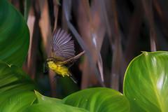Little fellow (My Pixel Magic) Tags: bird sunbird nature flyingbird green