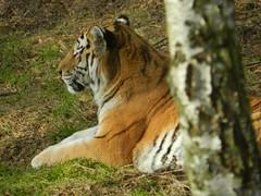 Amur Tiger, Highland Wildlife Park, Feb 2017 (allanmaciver) Tags: amur tiger stripes highland wildlife park cainrgorm rest tree snooze conent large cat big allanmaciver