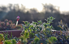 i am going to have fun with these (conall..) Tags: alpine terracotta planters morning sun sunrise thrift patio wall spring sunshine layers hedge