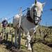 Démonstrations de labour à cheval
