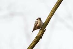 Nuthatch (konstantin.radchenko) Tags: nuthatch bird tree beak redbreasted white forest branch wildlife wood nature europe sitting down gray