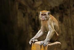 Monkey at the Batu Cave in Kuala Lumpur, Malaysia (jujemisa) Tags: monkey batu cave kuala lumpur malaysia asia southeastasia hindu hinduism nikon d5200 travel animal