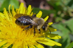 Doing my part! (Hayseed52) Tags: bee honey nector dandelion yellow flower spring food nature lawn