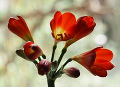 Wiosna Frühling Spring (arjuna_zbycho) Tags: kwiaty blumen flower zachódsłońca sonnenuntergang sunset sunsets sunrises clouds sky himmel atosphericclouds chmury wolken niebo kliwia
