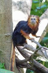 DSC01025-2 (Cyn Reynolds) Tags: tamarin goldenheadedliontamarin sandiegozoo a77ii fbfocus monkey 2017