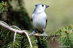 Tufted Titmouse (Anne Ahearne) Tags: sprucetree bird birds tufted titmouse animal nature wildlife cute