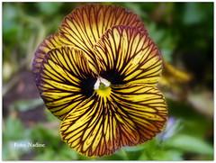 Violet from the Garden of Monet (Nadine V.) Tags: violet pansy viooltje frankrijk tuinvanmonet monet impressionisme panasonic panasonicdmcfz38 france giverny lumix impressionism