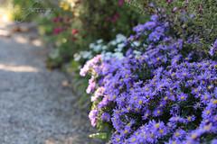 Purple flowers in autumn sunshine (Foto-Aestheticus) Tags: purple flower flowers shadow sunshine autumn summer beautiful wonderful amazing germany hannover berggarten way magnificent outdoor outside nature naturelover flowerlover